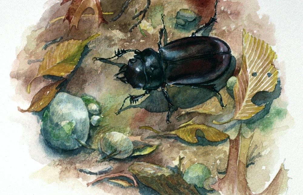 W-beetle-2